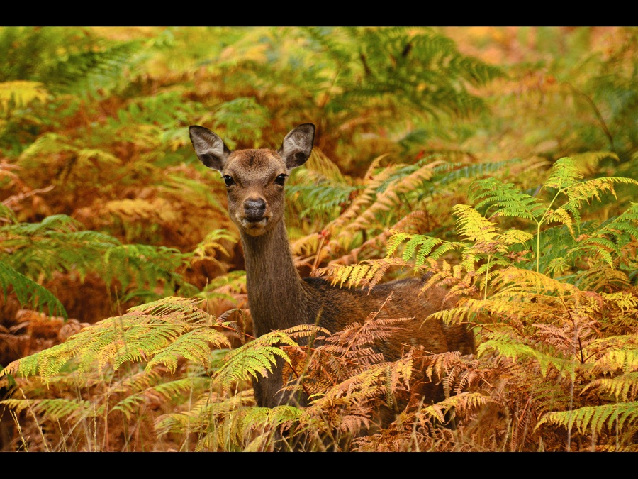 SIKA DEER WITH AUTUMN CAMOUFLAGE by Desi Lander