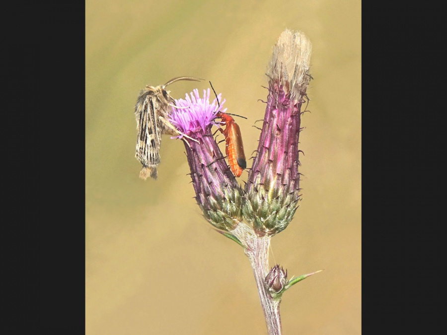 ANTLER MOTH AND SOLDIER BEETLE FEEDINMG ON MEADOW THISTLE by Tony Pioli