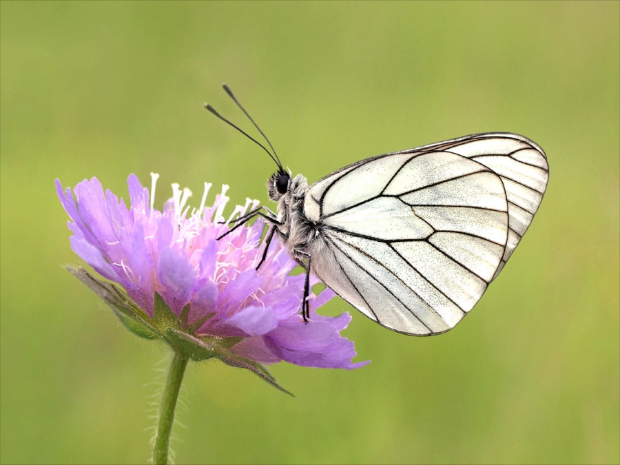 BLACK-VEINED WHITE ON SCABIOUS by Tony Pioli