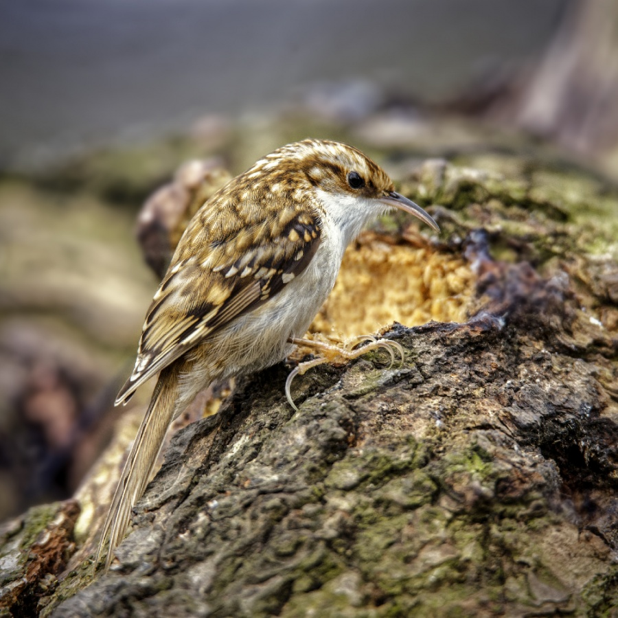 TREE CREEPER by Terry Walker