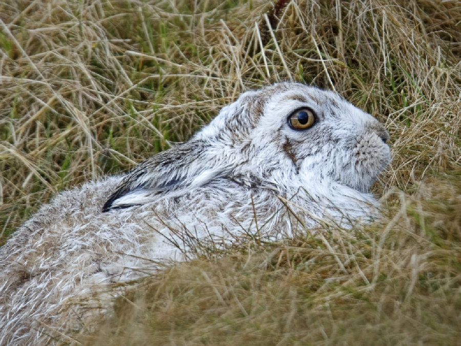 MOUNTAIN HARE SHELTERING by Terry Walker
