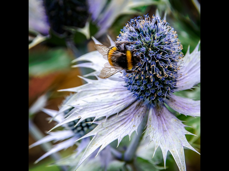 BEE ON SEA HOLLY by Rosy Bateman