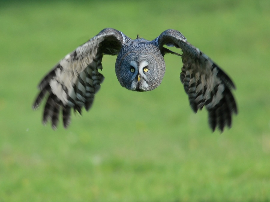 GREAT GREY OWL ON THE PROWL by Dave Upcott