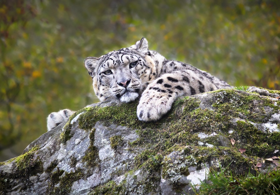 SNOW LEOPARD AT REST by Keith Gordon