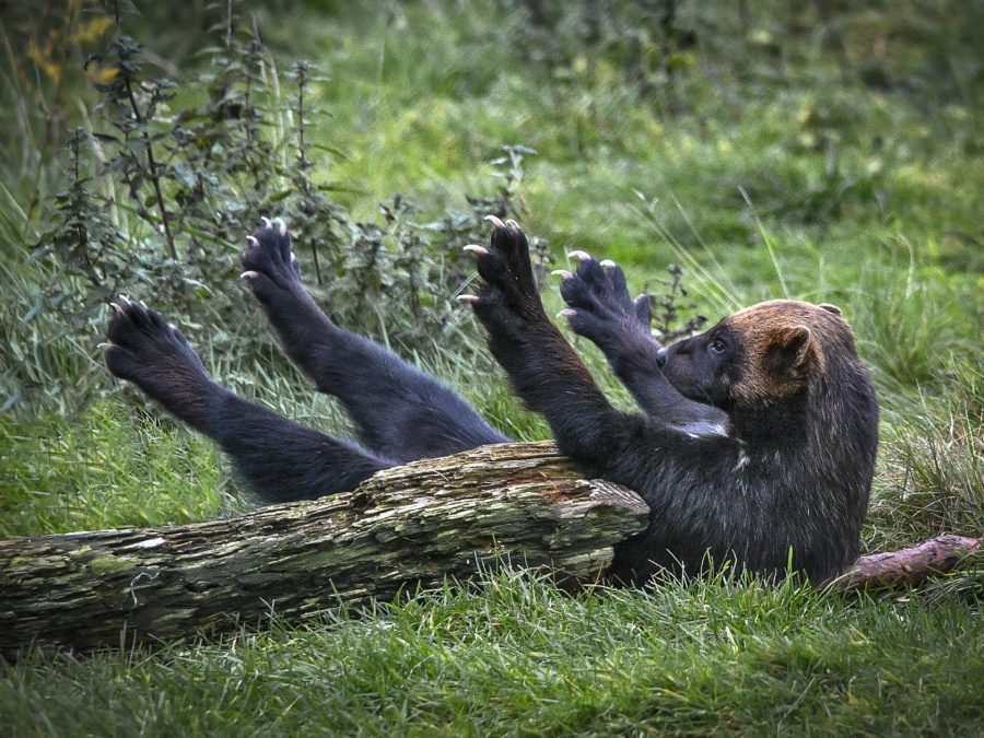 WOLVERINE STRETCHING by Keith Gordon