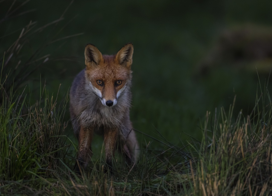 RED FOX IN THE GRASS by Charlotte Nuttall