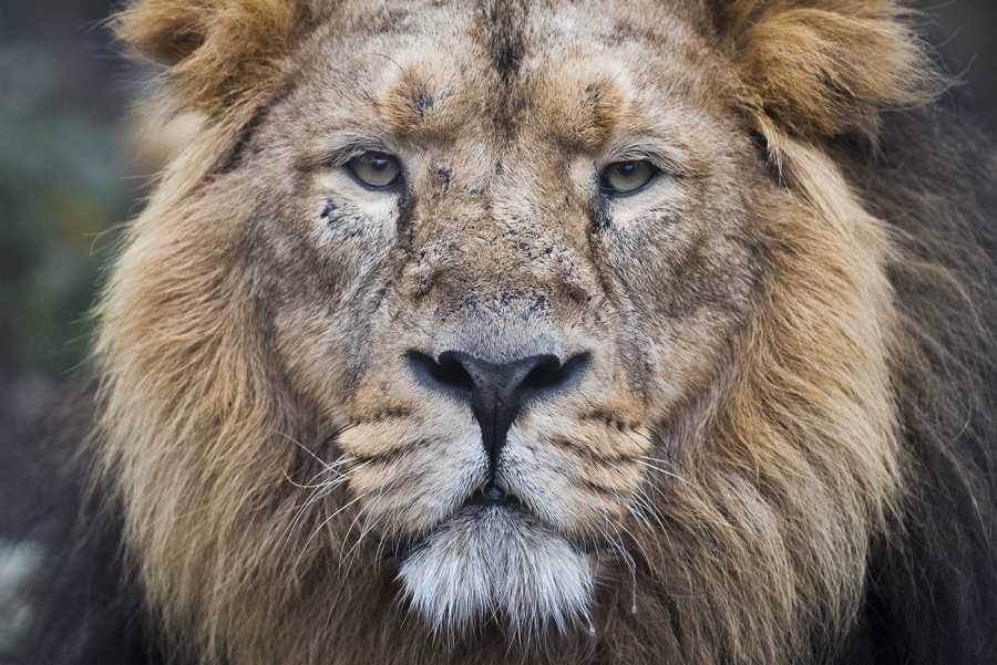 ASIATIC LION by James Street