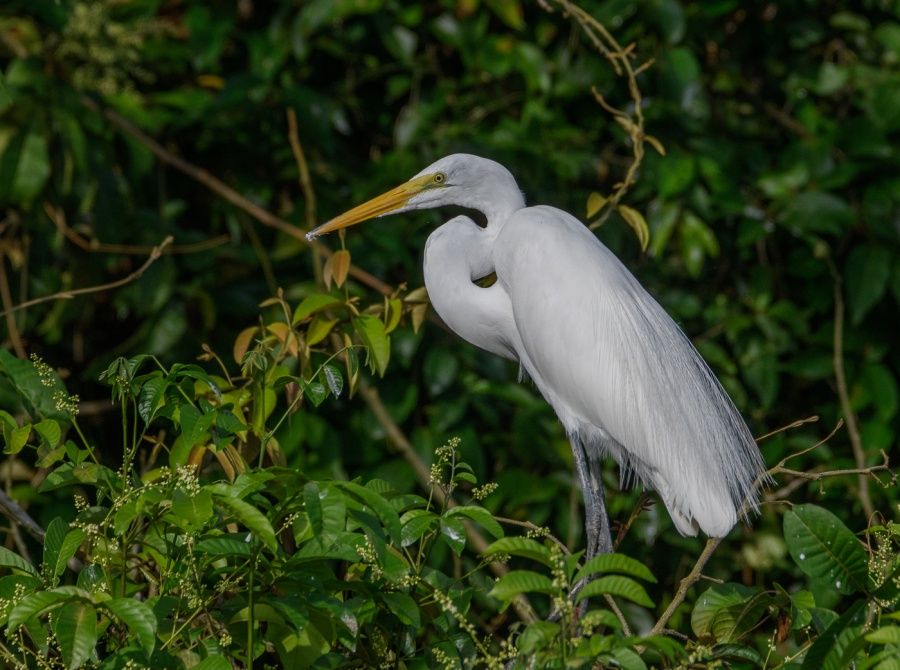 GREAT WHITE EGRET 3 by Chris Evans