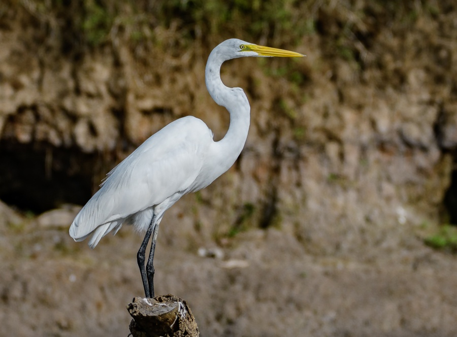 GREAT WHITE EGRET 1 by Chris Evans