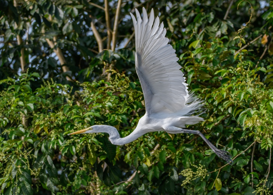 GREAT WHITE EGRET 2 by Chris Evans