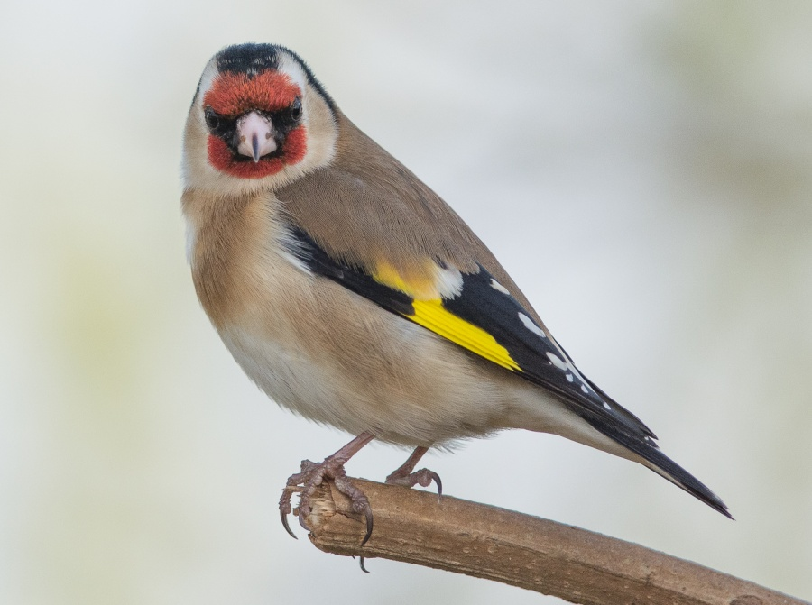 GOLDFINCHES 2 by Chris Evans