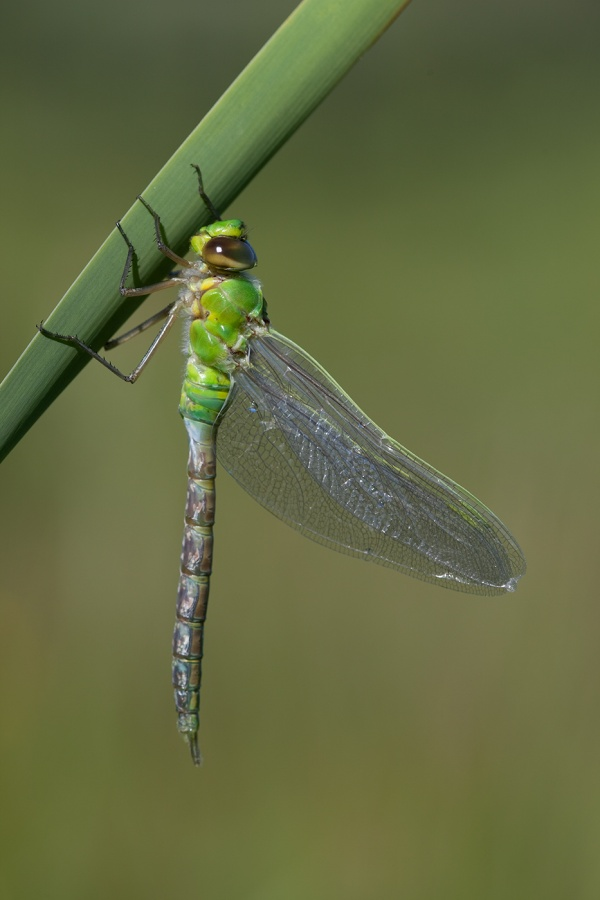 Panel No 1 - Newly Emerged Emperor Dragonflies by Ismail El-Haddad