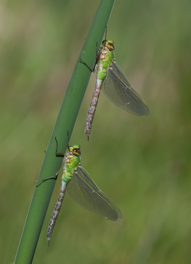 Panel No 2 - Newly Emerged Emperor Dragonflies by Ismail El-Haddad