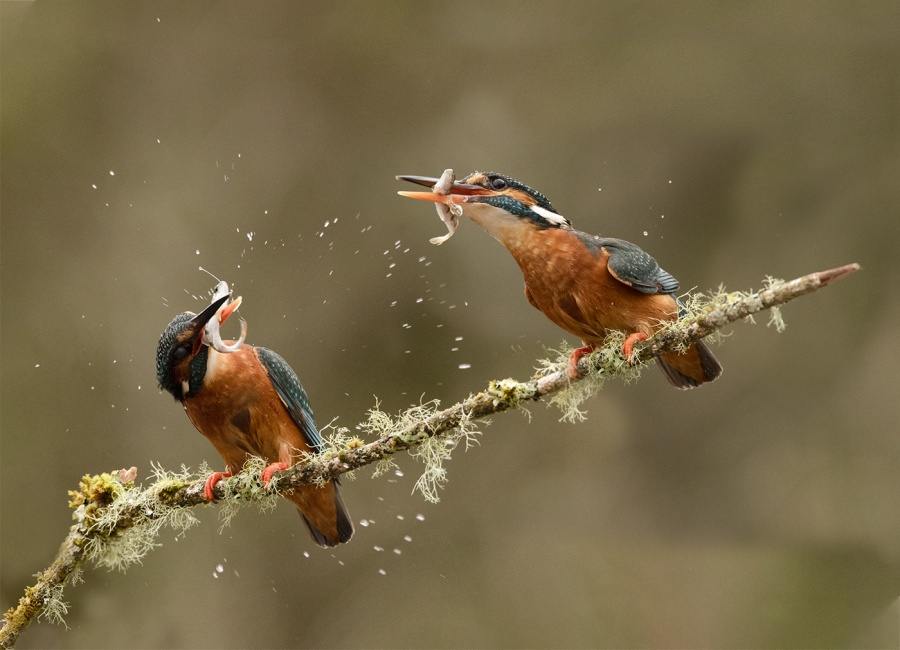 KINGFISHERS FISHING 3 by Charlotte Nuttall