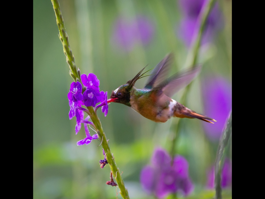 BLACK CRESTED COQUETTE by Dorothy Challand