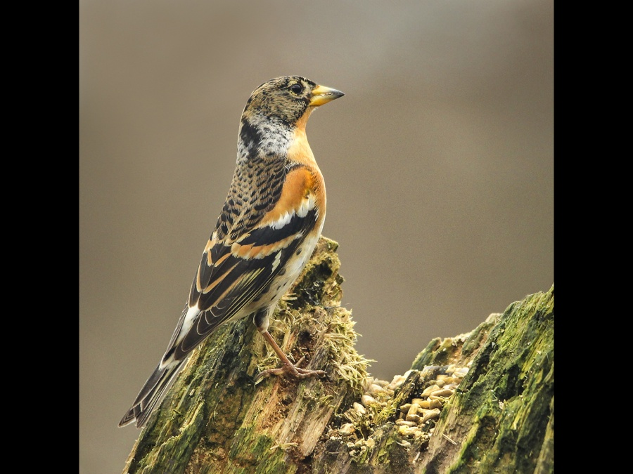 BRAMBLING ON A GARDEN VISIT by andrew chapman