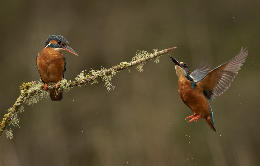 KINGFISHERS by Charlotte Nuttall