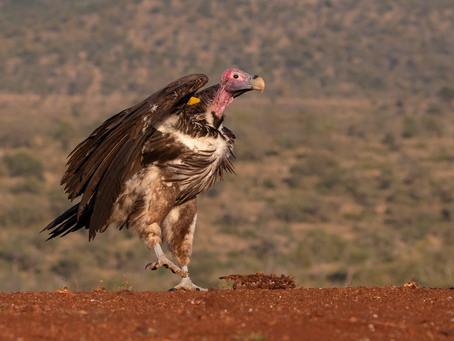 LAPIS FACED VULTURE LANDING by Malcolm Blackburn