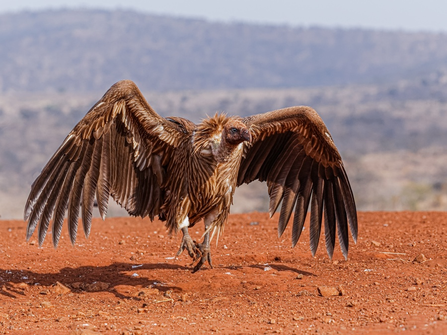 WHITE BACKED VULTURE by Malcolm Blackburn