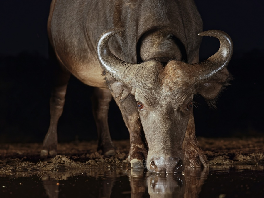 YOUNG CAPE BUFFALO by Jennifer Blackburn