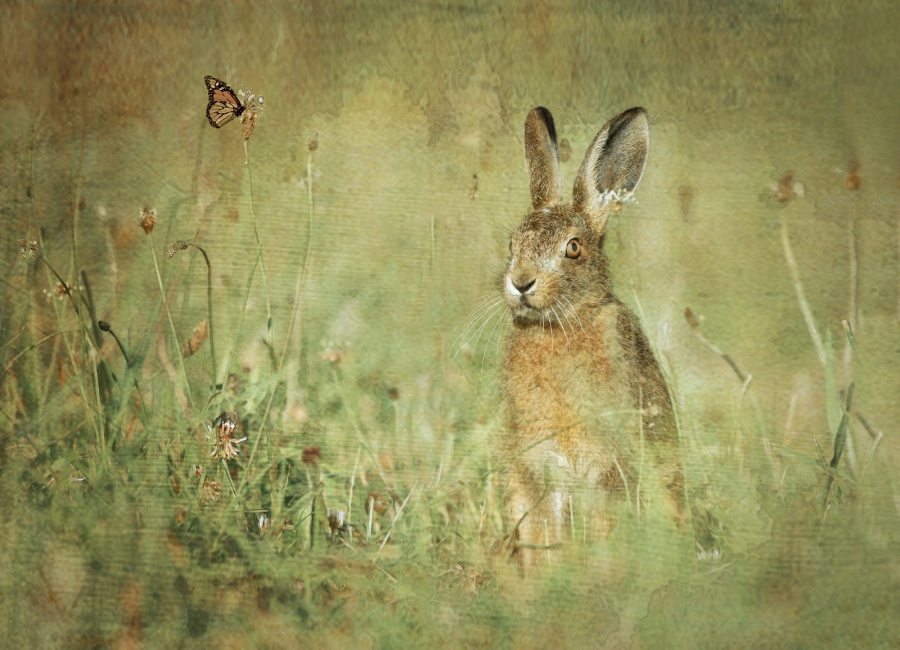 THE HARE & THE BUTTERFLY by Charlotte