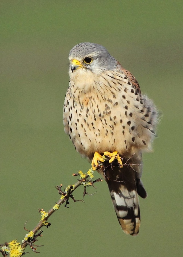 WILD KESTREL - PERCH HUNTING by Andrew Chapman