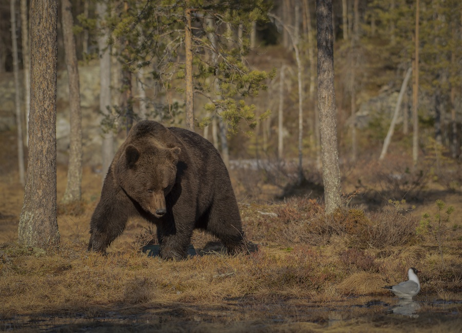 NORWEGIAN BROWN BEAR by Charlotte Nuttall
