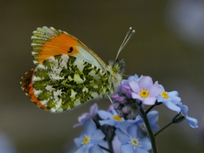 Orange Tip by Sue Murdoch