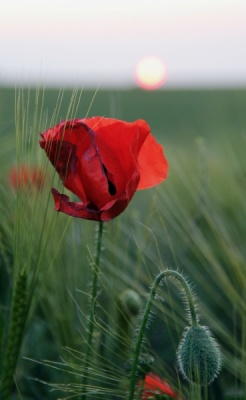 Poppies by Sunset by Howard Bristol