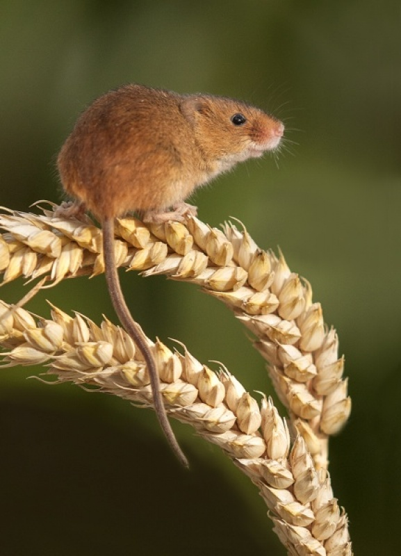 Harvest Mouse 2