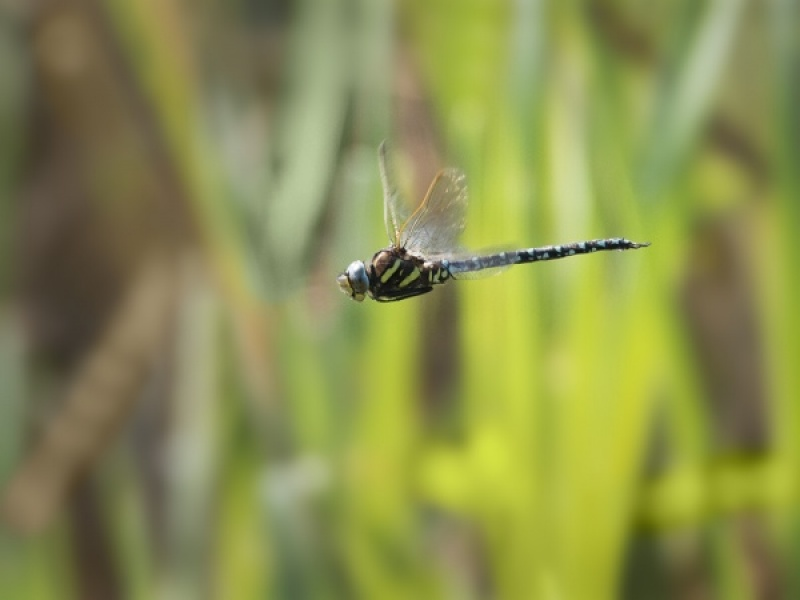 COMMON HAWKER DRAGONFLY IN FLIGHT by Terry Walker