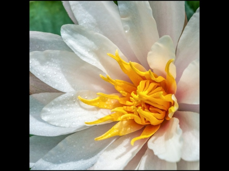 WATER LILY by Rosy Bateman