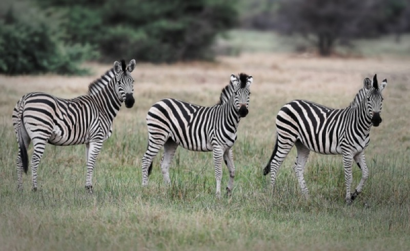 ZEBRAS by Pete Roberts