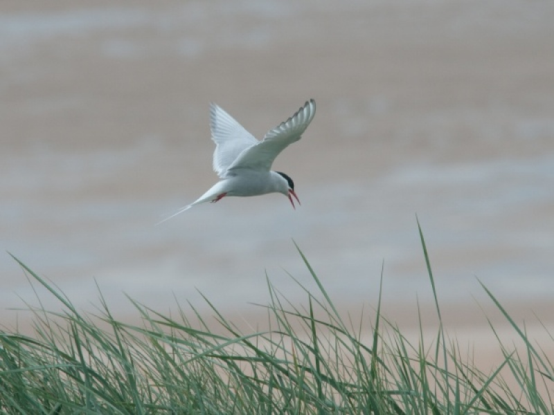 COMMON TERN by Dorothy Challand