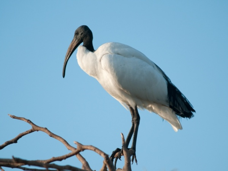 SACRED IBIS by Dorothy Challand