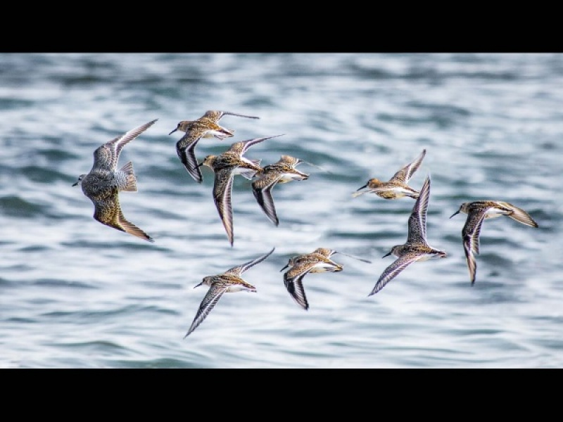KNOT AND DUNLIN by Dick Bateman