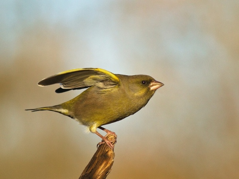 GREENFINCH AGGRESSION by Ken Lomas.jpg