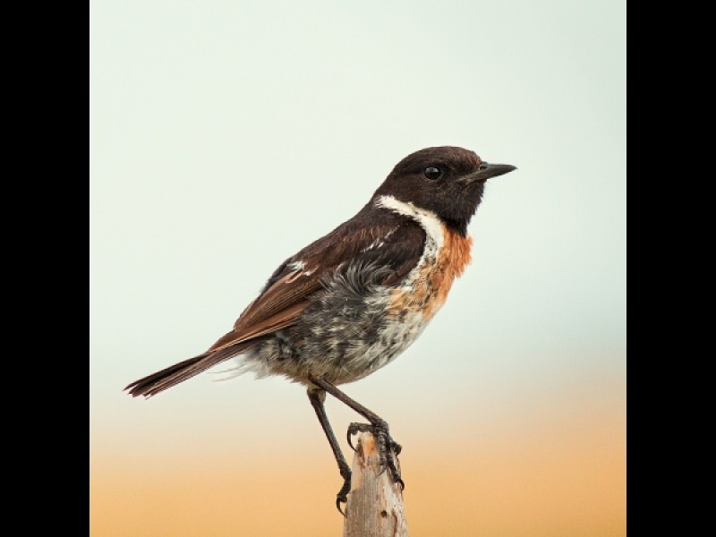 STONECHAT 2 by Ken Lomas