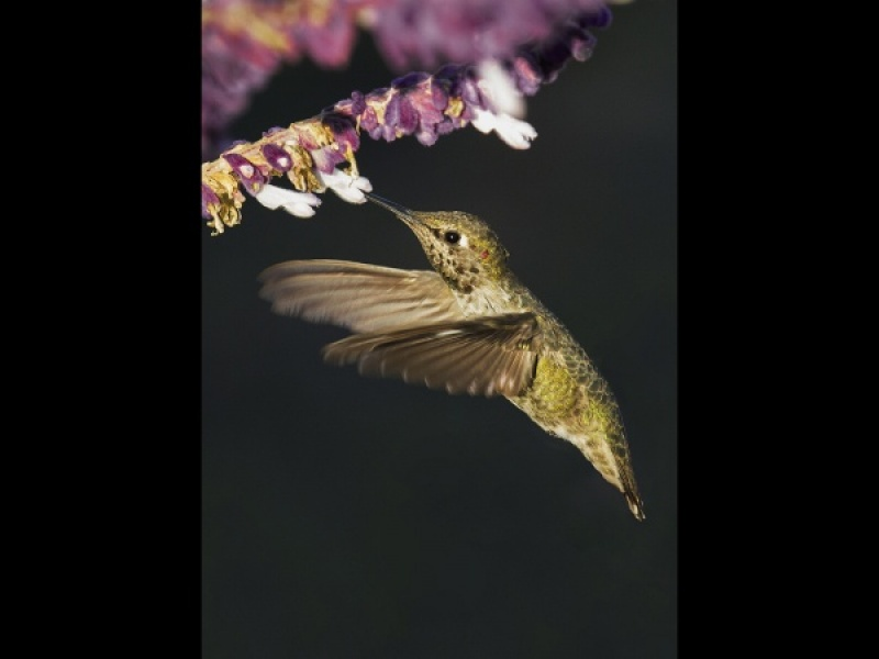 FEMALE ANNAS HUMMINGBIRD by Malcolm Blackburn