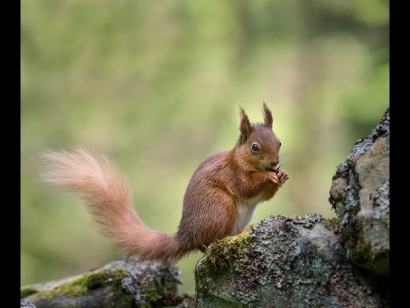 RED SQUIRREL by Cheryl Greenwood