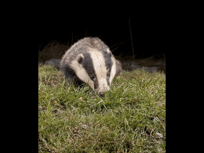 FORAGING BADGER by james chapman
