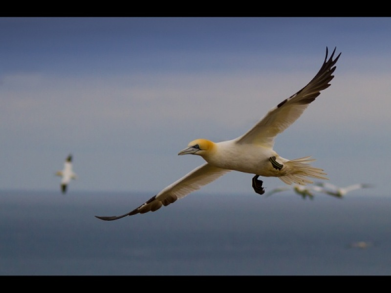 GANNETS by james chapman