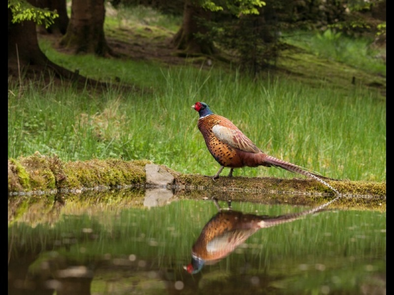 PHEASANT by Diane Thurlow