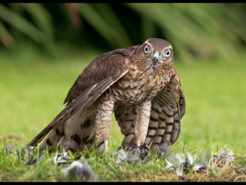 SPARROWHAWK WITH PREY by Diane Thurlow
