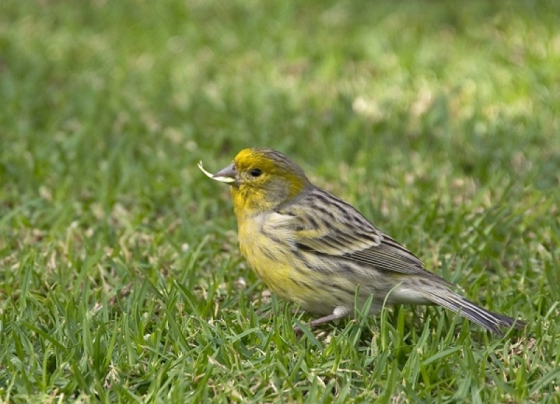 ATLANTIC CANARY by Terry Walker