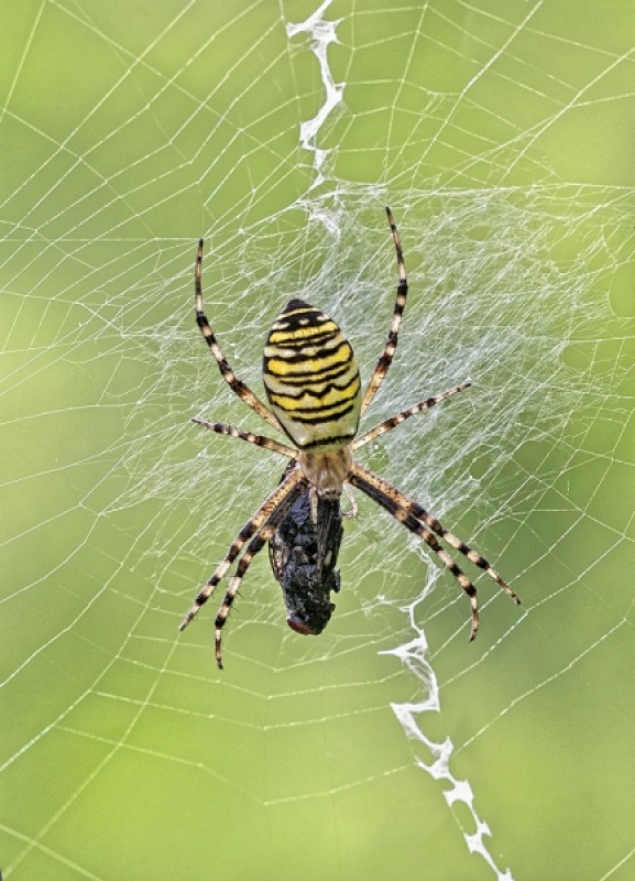 WASP SPIDER WITH PREY by Keith Gordon