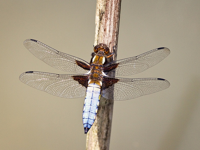 Male Broad Bodied Chaser 2.
