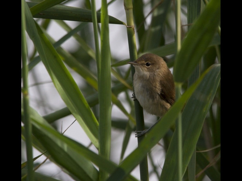 REED WARBLER by james chapman