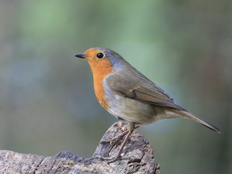 ROBIN by Vic Brown