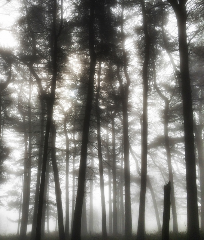 FOREST IN THE MIST By Brian Bristol